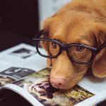 Brauner Hund mit Brille auf der Nase legt seinen Kopf auf eine Zeitschrift