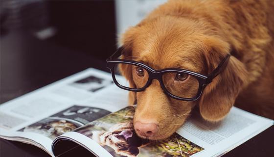 Hund mit Brille liegt mit dem Kopf auf einer Zeitschrift